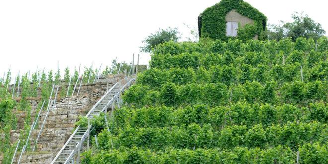 175.000 Euro für die Umstrukturierung der Weinberge in Eppingen-Kleingartach