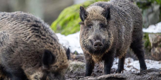 Änderungen an der Wildschweinüberwachung