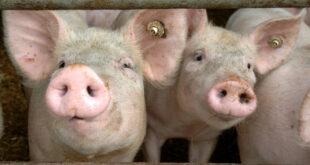 Biosicherheitsratschläge zum Schutz vor der Afrikanischen Schweinepest