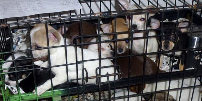 Der Tierschutzrat rät zum illegalen Welpenhandel