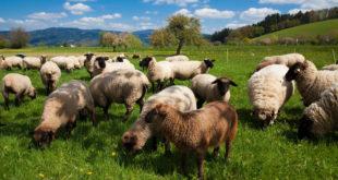 Wolf tötet und verletzt Schafe in Limbach