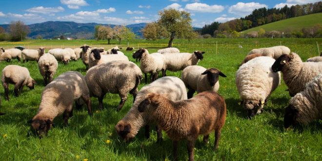 Drei zerstörte Schafe im Bezirk Waldshut