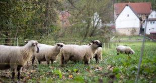 Zwei verletzte Schafe in der Gemeinde Neuler gefunden