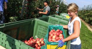 Erntesaison für die Bodenseeäpfel beginnt