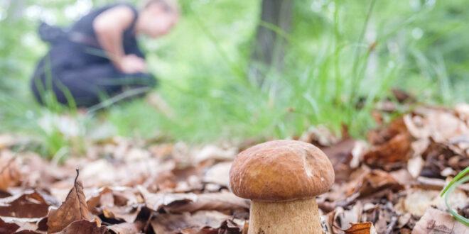Für Pilzsammler beginnt die Pilzsaison im Herbst