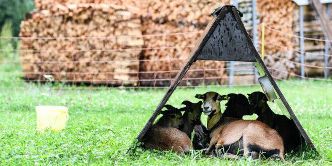 Getötete Ziege in Forbach gefunden