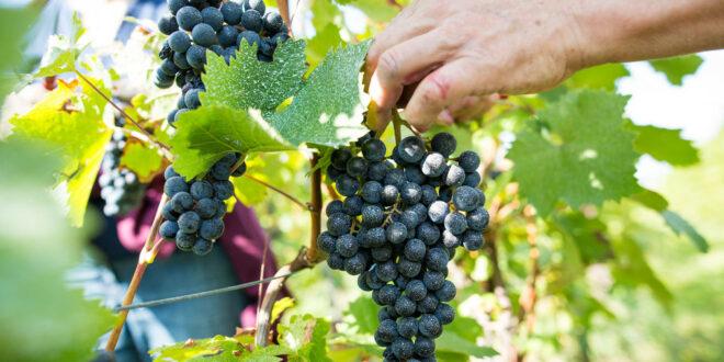 Hauptversammlung des Badener Weinbauverbandes