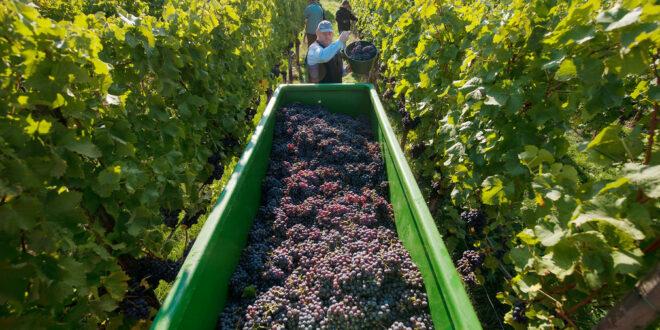 Herbstpressekonferenz des Württembergischen Weinbauverbandes