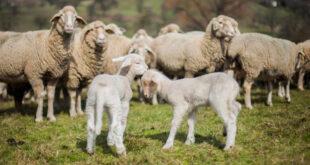 Hund verletzt zwei Schafe in der Gemeinde Neuler
