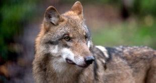 Von einem Wolf in der Gemeinde Forbach zerrissene Ziege