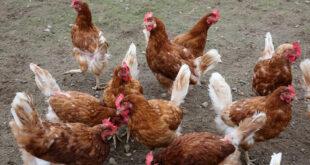 Geflügelhandel im Reisehandel ist nur nach Prüfung auf Aviäre Influenza möglich