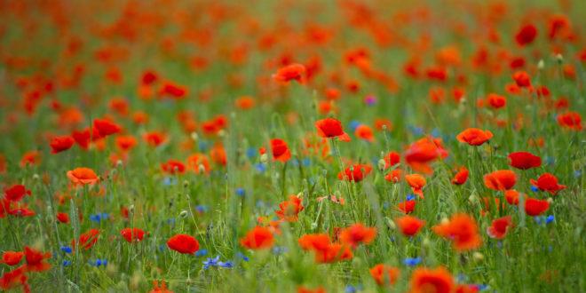Land fördert Blütengebiete und Biodiversitätspfade