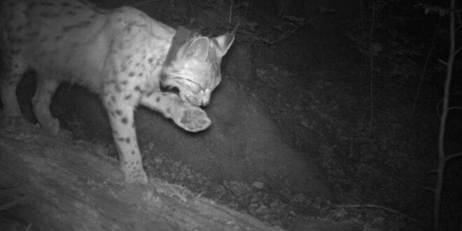 Luchs im Nordschwarzwald liefert weiterhin Daten für das Wildtiermonitoring