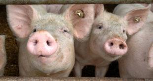 Diskussion über Perspektiven für die Schweineproduktion und -vermarktung