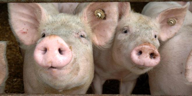 Maßnahmenpaket für Schlachthöfe angekündigt