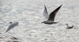 In Konstanz offiziell identifizierte Vogelgrippe