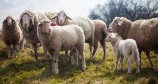 Sechs Schafe in der Gemeinde Limbach angegriffen