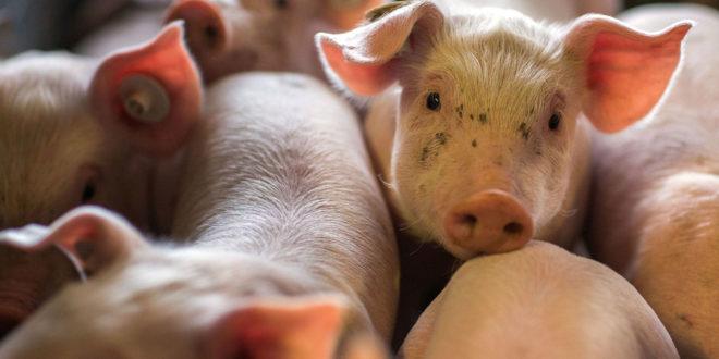 Verbot, Schweine gegen den Bauern in Rottweil zu halten