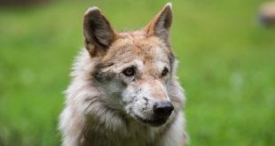 Weitere Hinweise auf Wolf auf Gemeindeebene von Mudau