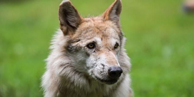 Wolf reißt Hirsche im Neckar-Odenwald